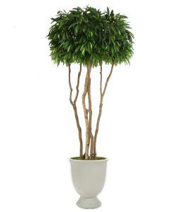 10' Mango Canopy Tree in White Concrete Pedestal Planter