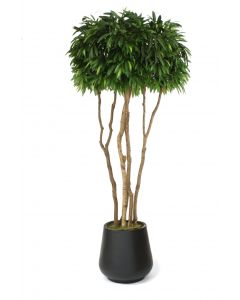 10' Mango Canopy Tree in Black Fiberstone Planter