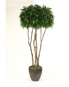 10' Mango Tree in Metallic Bronze Stoneware Pot
