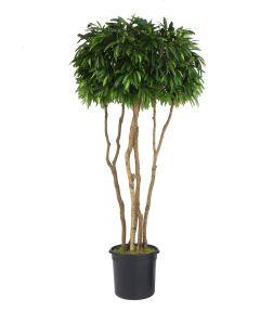 10' Liner-19140 Mango Canopy Tree