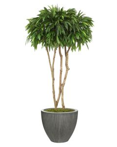 6.5'  Mango Canopy Tree in Dark Grey Vertically Ridged Planter