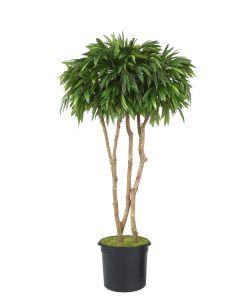 6.5' Mango Canopy Tree in Black Plastic Nursery Liner