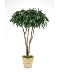 7' Canopy Mango Tree in Sierra Beige Terra Cotta Garden Pot