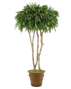 7' Canopy Mango Tree in Tuscan Brown Fiberglas Patio Pot
