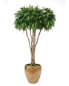 8' Canopy Mango Tree in Glazed Mocha Stoneware Pot