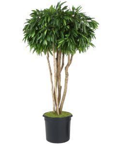 8' Canopy Mango Tree in Black Plastic Nursery Liner