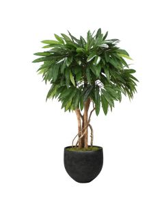 4' Mango Tree in Black Orb Stone Planter