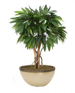 4' Mango Tree in Glazed Sand and Bronze Oval Earthenware Planter