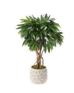 4' Mango Tree in White Gabi Planter