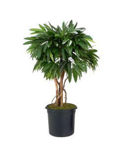 4' Mango Tree In Liner