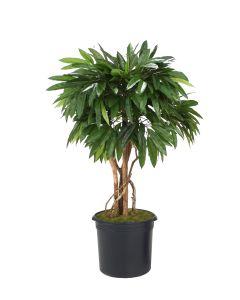 4' Mango Tree in Black Plastic Nursery Liner