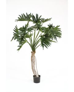 4.5' Philodendron Selloum in Black Plastic Liner