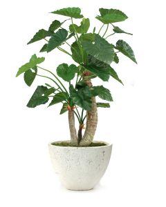 7' Alocasia Caledoro Tree in Oval Concrete-Lite Planter