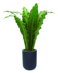 5' Anthurium Jenmani Plant in Round Black Dice Fiberstone Planter