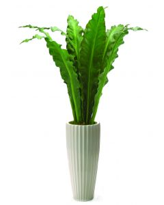 5.5' Anthurium Jenmani Plant in Glazed White Earthenware Highland Floor Vase