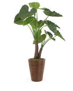 5' Alocasia Calidoro Plant in Tapered Rattan