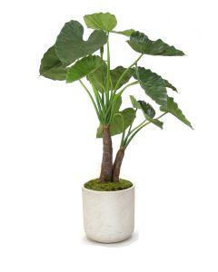 4' Alocasia Calidoro Plant in Grey Stone Charlie Planter