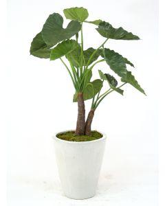 5' Alocasia Calidoro Plant in Glazed White Stoneware Planter