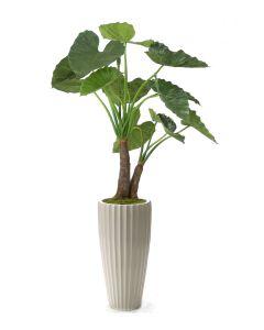5' Alocasia Calidoro Plant in Glazed White Earthenware Highland Floor Vase