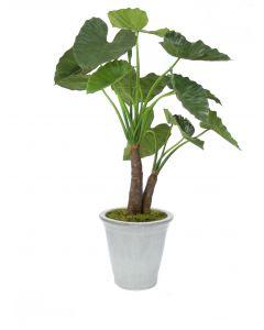 5' Alocasia Calidoro Plant in White Stoneware Container