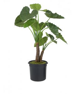 5' Anthurium Jenmani Plant in Liner