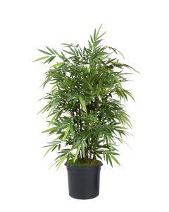 5' Black Bamboo Tree in Black Plastic Nursery Liner