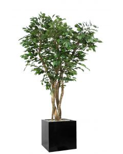 7' Canopy Ficus in Block Planter