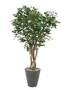7' Canopy Ficus Tree in Matte Black Glazed Stoneware Pot
