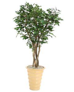 7' Canopy Ficus in Mustard Glazed Stoneware Planter