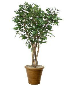 7' Canopy Ficus Tree in Tuscan Brown Fiberglass Patio Pot