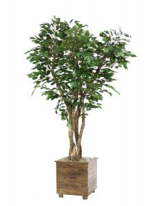 7' Canopy Ficus in Square Stained Wood Planter with Feet