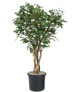 7' Canopy Ficus Tree in Plastic Liner