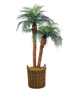 8.5' Phoenix Palm in Tapered Rattan