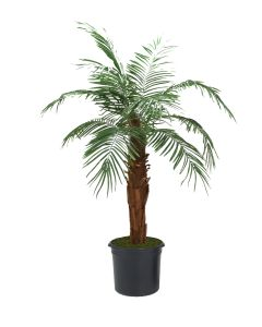 6' Phoenix Palm Tree in Black Plastic Nursery Liner
