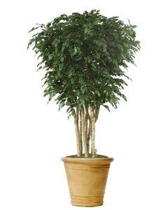 10' Ficus Tree in Sierra Beige Garden Planter
