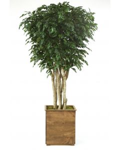 10' Ficus Tree In Tall Stained Wooden Planter