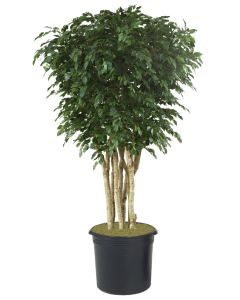 10' Ficus Tree in Black Plastic Nursery Liner