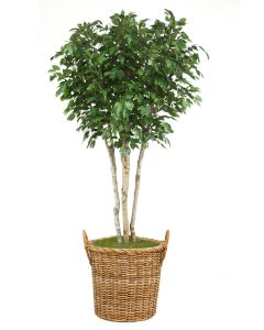 8' Ficus Tree in Natural Round Core Arrorog Rattan Basket with Handles