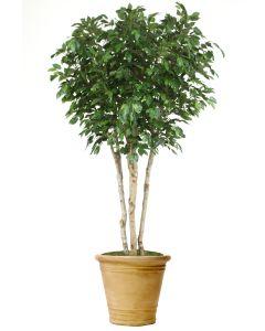 8' Ficus Tree in Sierra Beige Garden Planter