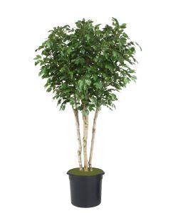 8' Ficus Tree in Black Plastic Nursery Liner