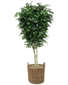 9' Topiary Ficus Tree in Stained Full Core Rattan Basket with Handles