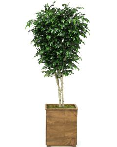 9' Ficus Tree in Tall Square Stained Wood Planter