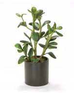 Jade Plant in Matte Black Circle Pot -sold in Multiples of 2