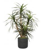 Dracaena Marginata in Black Stone Charlie Planter
