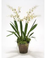 White Oncidium Orchids with Grass and Succulents in A Bronze Orchid Pot