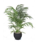 4' Areca Palm in Black Stone Orb Planter