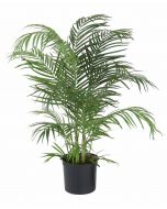 4' Areca Palm in Black Plastic Nursery Liner