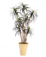 6.5' Dracaena Tree in Mustard Glazed Stoneware Planter