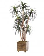 6.5' Dracaena Tree in Square Stained Wood Planter with Feet