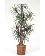 8' Dracaena Tree in A Rolled Rim Stained Wicker Basket